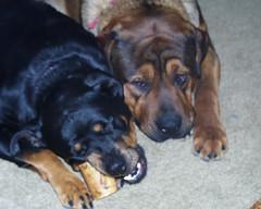 Sage & Napoleon (muslovedogs) Tags: playing dogs rottweiler sage napoleon mastweiler