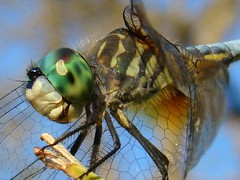 Blue dasher dragonfly (bansheed) Tags: macro green closeup flying wings eyes dragonflies insects bugs bichos