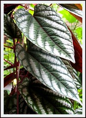 Cissus discolor (Trailing Begonia, Rex Begonia Vine) in our tropical garden, November 2007