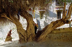 the old tree of Tashilhungpo Gompa (reurinkjan) Tags: 2004 buddhist tibet shigatse yellowhat panchenlama mahayana tashilhunpomonastery gelugpa nikonf1002870mm utsang  janreurink gyalwagendundrup        tashilungpogompa    wishgrantingtreedpagbsamgyisdongpopaksamgyidongpo treeshingsdongposhingdongpo treesdongpodongpo ancientdusrnyingpaidnyingp