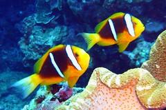 Orangefin Anemonefish in Saipan