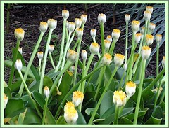 Haemanthus albiflos (Linda DV) Tags: park flower fleur yellow jaune geotagged flora flor arboretum yellowflower amarillo gelb tenerife botanicgarden geel bloem amaryllidaceae laorotava floramarilla haemanthusalbiflos jardinbotanicotenerife botanicgardentenerife lindadevolder
