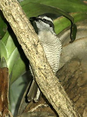 Superb Bird-of-paradise (NamdurApi) Tags: birdofparadise captive centralparkzoo paradisaea paradisaeidae fbwnewbird fbwadded leastconcern superbbirdofparadise lophorinasuperba