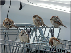 ~Little House Sparrows hoping to catch a ride back into Wal-Mart where it's warm~ (~Sage~) Tags: birds walmart birdies feathery housesparrows happyfeatheryfriday impressedbeauty ~sage~