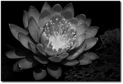 Your love... (.Tatiana.) Tags: bw flower sopaulo flor pb sampa jardimbotnico jb ninfia fotoclube 10faves siteparavendadefotos httpwwwplanobfotodesigncom tatinapb2008 fototatianasapateiro
