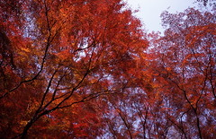 i dreamed i was afire (troutfactory) Tags: autumn trees red fall film colors leaves japan 35mm maple voigtlander bessa rangefinder slide momiji flame  analogue   kansai provia takarazuka   ultron provia100  r2a likefire takedao changingoftheleaves