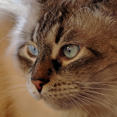 Furry Friday and I'm sad... (Buntekuh) Tags: cats pets animals nikon gatos explore farewell whisky katzen rainbowbridge restinpeace juri mywinners bestofcats