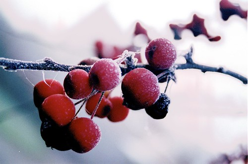 Frost on the Crab Apples