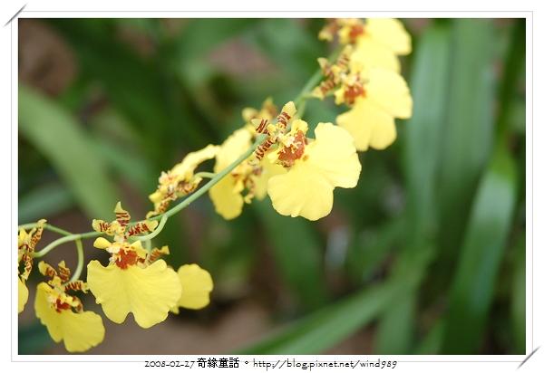 DSC_2574文心蘭
