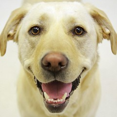 Happy To Meet You (Back in the Pack) Tags: dog calgary dogs smile face ball mouth puppy nose happy eyes lab yellowlab ears grin loves dogdaycare kylah wwwdogdaycareca 40d tamron1750mmf28 eos40d wwwbackinthepackca albertabarks