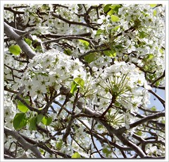 Sing Joy Spring (Cheap Camera Tricks) Tags: california white flower tree branches blossoms plum blooms antelopevalley floweringplum kerncounty