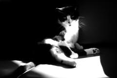 (SofiDofi) Tags: light portrait blackandwhite cats beautiful furry feline pretty einstein couch weirdpose impressedbeauty