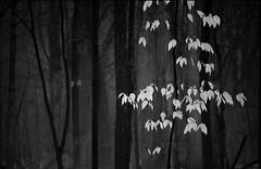 Robert Frost in the Woods (Mingfong) Tags: trees blackandwhite bw uw monochrome wisconsin canon interestingness woods postcard arboretum explore story madison simplicity robertfrost albumcover 5d elegant stories 黑白 藝術照 樹 桌布 樹林 stoppingbywoodsonasnowyevening mingfong 風景攝影 黑白攝影 musicflyer mingfongjan artbrochure sketchoflight mingfongphotography 黑白風景攝影