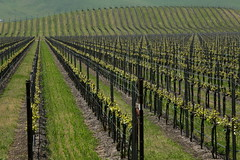 Central coast vinyard (planetlight) Tags: california vineyard wine vine row explore coastal centralcalifornia explorethis goldstaraward planetlight