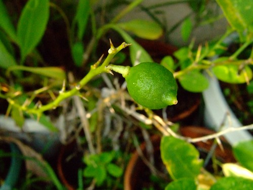 Citrus from seed