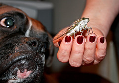Helldog y la Chicharra / Helldog and the Cicada (Pankcho) Tags: dog pet dinner bug cicada wings hand venezuela fingers caracas perro explore nails snack alas dedos mano boxer animales cena bicho crunchy mascota snout insecto