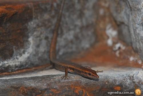 Russet snake-eyed skink  (Cryptoblepharus ustulatus)