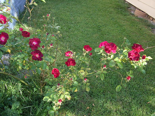 1/2 of my rose bush