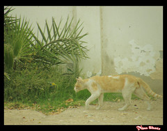 Strolling Cat (Muneera Al Qubaisi) Tags: plants tree nature grass animal digital cat photography photo olympus nina 2008 photographing qatar حيوانات صورة تصوير قطر طبيعة شجر نبات قط قطو ninacg