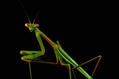 Night Prowler (RobMacPhotography) Tags: canberra act australia praying mantis night low light macro detail close up garden animal insect black background sony a6000 outside rob mac photography green spikes bug eyes