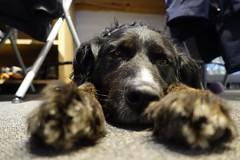 Rufus (raindog) Tags: sadface macro sony rx100m3 dog