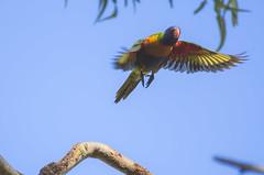 Rainbow Lorikeet (S♡C) Tags: outdoor animal bird rainbowlorikeet flight parrot australian tree sky
