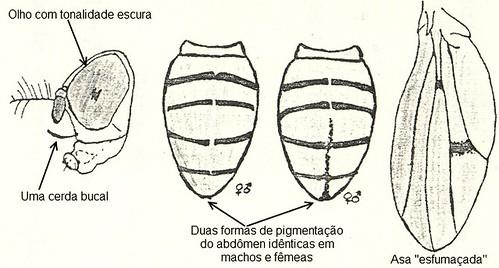 Padrão morfológico da D. nappae