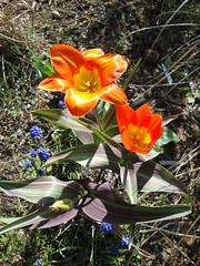 Tulipa Juan