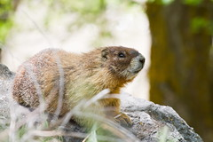 Yellow-bellied Marmot (Marmota flaviventris) (TheSwiftGallery) Tags: marmot mammals yellowbellied marmota flaviventris