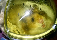Lemme OUT (jellybaby86) Tags: cute fluffy hamster satin syrian longhaired dandydust