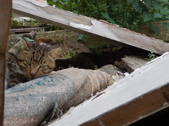 , ( ) Tags: grass animal cat ruins debris greeneyes oldhouse gatto catseyes kallithea vision:mountain=0812 vision:outdoor=0691
