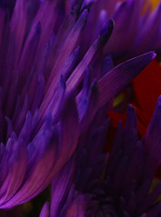 Petals (CatMacBride) Tags: blue flower petals purple catherinemacbride catmacbride