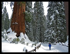 Sequoia Tree Kings Canyon National Park (Jim's outside photos) Tags: california park winter snow forest frozen big searchthebest redwood kingscanyonnationalpark outdoorphotography jimbrekkecom jamesbrekkecom