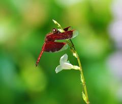 Dragonfly (..karen..) Tags: red green dragonfly malaysia kuala lumpur naturesfinest blueribbonwinner butterflypark tamron90mmmacro supershot d80 outstandingshots outstandingshot aplusphoto megashot