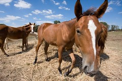 _MG_0614 (C. Young Photography) Tags: horses horse ex canon dc texas sigma 1020 lockhart f456 hsm 1020sigma 40d canoneos40d