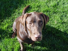 Chocolate Labrador Dakota on Bright Green Lawn