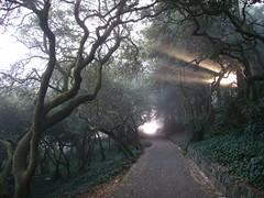 Coast Live Oaks woodland (Eric Hunt.) Tags: sanfrancisco park tree fog woodland quercus path buenavistapark crepuscular rayoflight fagaceae quercusagrifolia coastliveoak