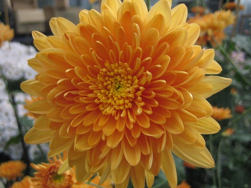 Chrysanthemum peach