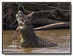 Nile Crocodile - Crocodylus niloticus (Ratatusk) Tags: africa wild food fauna feeding kenya eating reptile places crocodiles riftvalley malachitekingfisher naturesfinest nilecrocodile masaimaranationalreserve maasaimaranationalreserve crocodylusniloticus abigfave anawesomeshot superbmasterpiece diamondclassphotographer thebestofgodscreation