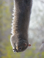 ~Gymnastic squirrel hanging upside down by his feet from a seed block (~Sage~) Tags: cute furry squirrel adorable fluffy sage determined sneaky tricky pouff ar1 impressedbeauty seedblock pilferring animalgymnastics