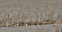 Ducks (Peter Baer) Tags: california duck teal ducks drake preserve sacramentocounty teals greenwingedteal cinnamonteal cosumnesriverpreserve pjb0156