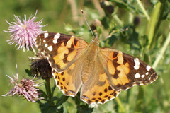 painted lady butterfly (dyslex) Tags: butterfly paintedlady medicinehat inscect