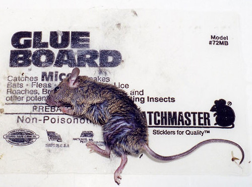 photos_rat-large