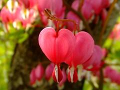 Heart (saifulchisht) Tags: pink flower love heart joy grimstad