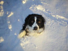 Tuppence in the Snow II (adscaife) Tags: pets tuppence