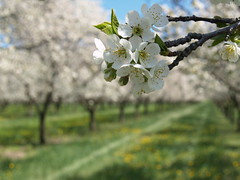 Spring Will Come (farlane) Tags: flower cherry spring cherries michigan farm orchard dandelion cherryblossom leelanau
