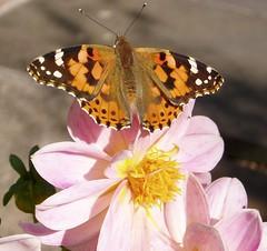 Butterfly (oakwoodlott) Tags: pink dahlia butterfly paintedlady