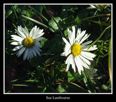 The Shy One! (susie 1) Tags: shadow grass daisy smorgasbord novideo goldenmix avision anawesomeshot onlythebestare wonderfulworldmix