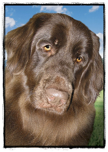 "Chocolate Newfoundland ""Aggie"""