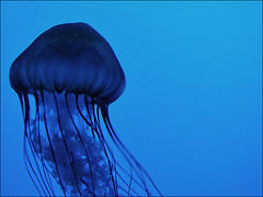 the wanderer. (eocenean) Tags: blue aquarium jellyfish creature newenglandaquarium seacreature neaq sonydsch5